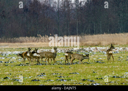roe deer (Capreolus capreolus), group on meadow in winter, bucks with and without velvet, Germany, Bavaria - Stock Photo
