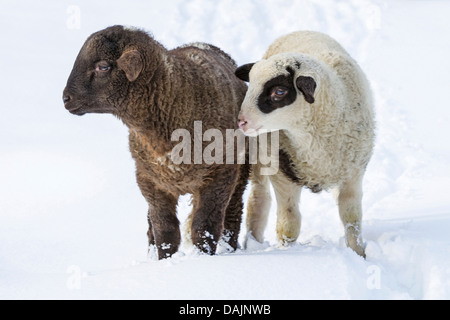 domestic sheep (Ovis ammon f. aries), black and white lambs in snow, Germany, Bavaria - Stock Photo