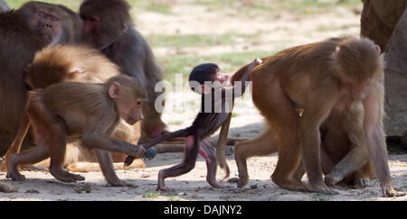 A Hamadryas baboon holds on to the tail of a young one at the zoo in Osnabrueck, Germany, 22 April 2011. Animals - Stock Photo