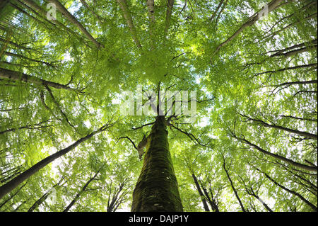 (FILE)An archive photo dated 04 September 2010 shows Common Beech trees in Steigerwald Nature Park near Ebrach,Germany. - Stock Photo
