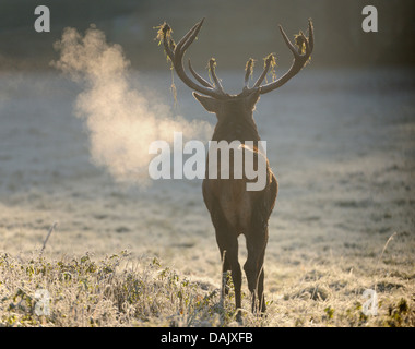 Red Deer (Cervus elaphus), stag roaring in the early morning, captive - Stock Photo