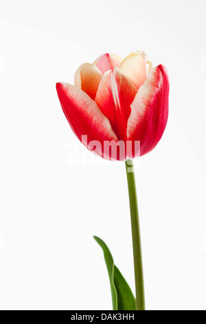 Red and white tulip flower against white background, close up - Stock Photo