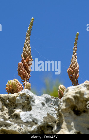 Pale Stonecrop (Sedum sediforme), Portugal - Stock Photo