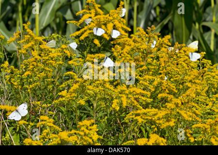 large white (Pieris brassicae), many large whites on solidago, Germany, Mecklenburg-Western Pomerania - Stock Photo