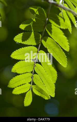 European mountain-ash, rowan tree (Sorbus aucuparia), leaves on a branch in backlight, Germany - Stock Photo