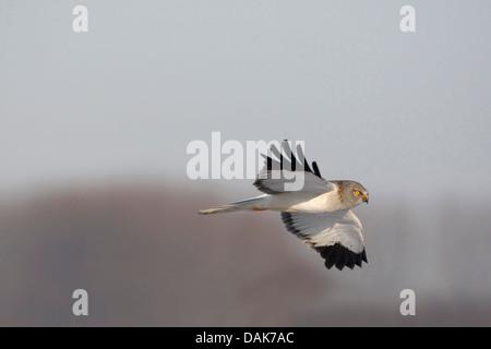 hen harrier (Circus cyaneus), male in flight, Belgium - Stock Photo