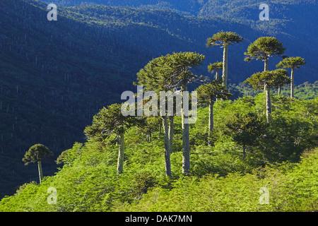 Chilean pine (Araucaria araucana), Chilean pines in Sierra Nevada in morning light, Chile, Patagonia, Andes, Conguillio - Stock Photo