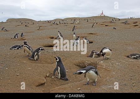 Magellanic penguin (Spheniscus magellanicus), penguin colony, Chile, Isla Magdalena, Punta Arenas - Stock Photo