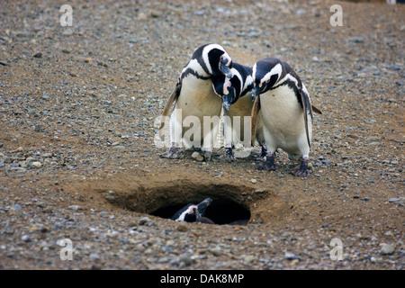 Magellanic penguin (Spheniscus magellanicus), three penguins looking into a nesting hole, Chile, Isla Magdalena, - Stock Photo