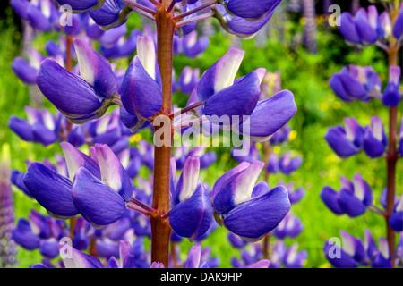 bigleaf lupine, many-leaved lupine, garden lupin (Lupinus polyphyllus), flowers, Germany, North Rhine-Westphalia - Stock Photo