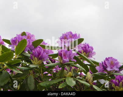 Top of Rhododendron bush with purple flowers, neutral background - Stock Photo