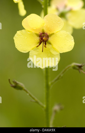 White moth mullein (Verbascum blattaria), flower, Germany - Stock Photo