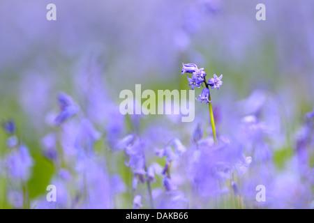 Atlantic bluebell (Hyacinthoides non-scripta, Endymion non-scriptus, Scilla non-scripta), single inflorescence, - Stock Photo