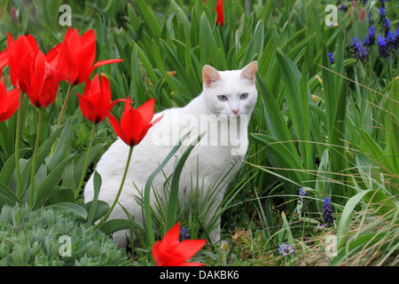 domestic cat, house cat (Felis silvestris f. catus), white cat in garden with red tulips, Germany - Stock Photo