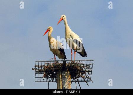 white stork (Ciconia ciconia), two white storks on nesting aid, Germany - Stock Photo