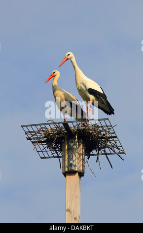 white stork (Ciconia ciconia), pair of storks at their nest on nesting aid, Germany - Stock Photo