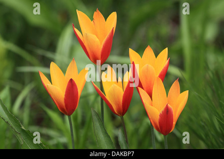 common garden tulip (Tulipa gesneriana), yellowand red tulip flowers - Stock Photo