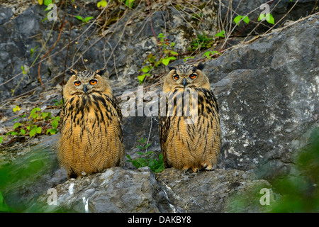 northern eagle owl bubo bubo two fledgelings sitting side by side stock photo royalty free. Black Bedroom Furniture Sets. Home Design Ideas