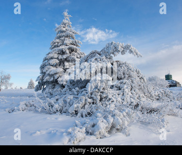 Norway spruce (Picea abies), snow-covered spruces at Kahler Asten, Germany, North Rhine-Westphalia, Sauerland - Stock Photo