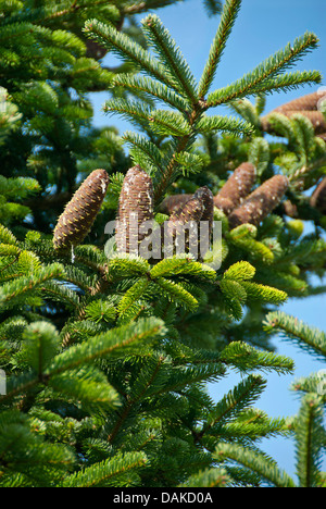 Nordman fir (Abies nordmanniana), branch with cones, Germany, Saxony - Stock Photo