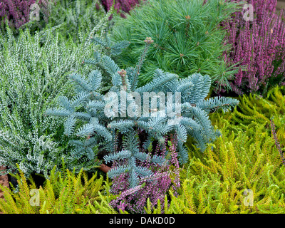 Noble fir, Red fir, White fir (Abies procera 'Glauca', Abies procera Glauca), cultivar Glauca together with mit - Stock Photo