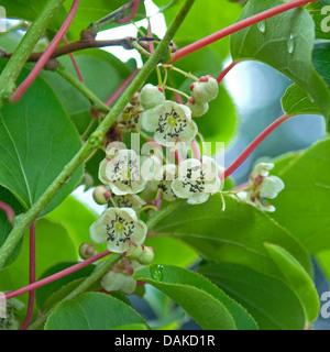 kiwi (Actinidia arguta 'Milano'), male flowers, Germany - Stock Photo