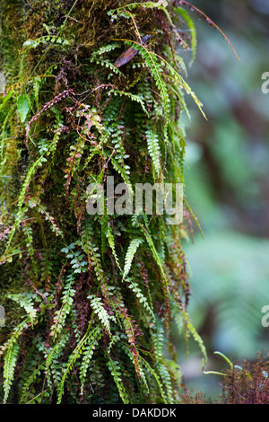 Tiny ferns growing on a tree trunk in temperate montane rainforest, Papua New Guinea - Stock Photo