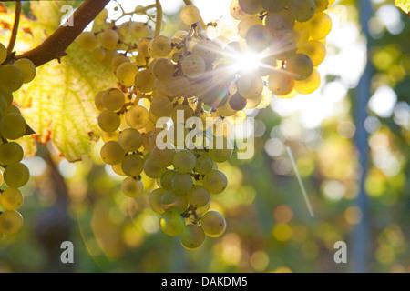 grape-vine, vine (Vitis vinifera), ripe grapes at the vine, Germany, Rhineland-Palatinate, Palatinate - Stock Photo