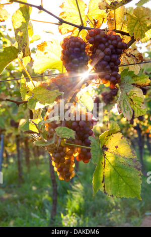 grape-vine, vine (Vitis vinifera), mature grapes in backlight, Germany, Rhineland-Palatinate, Palatinate - Stock Photo
