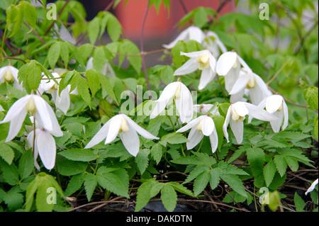 Clematis (Clematis 'White Columbine', Clematis White Columbine), cultivar White Columbine - Stock Photo