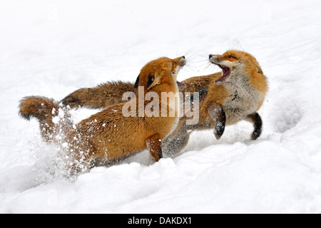 red fox (Vulpes vulpes), two foxes fighting in the snow, Germany - Stock Photo