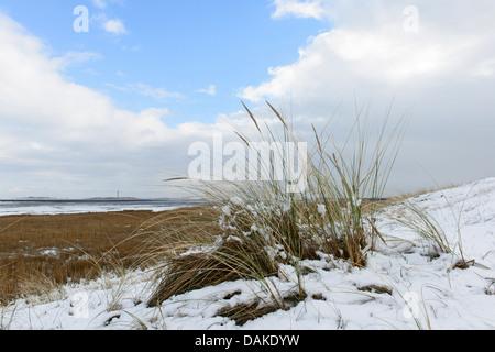 beach grass, European beachgrass, marram grass, psamma, sea sand-reed (Ammophila arenaria), in the snow, Netherlands, Texel