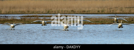 tundra swan (Cygnus columbianus), many tundra swans landing on the water, Netherlands, Texel - Stock Photo