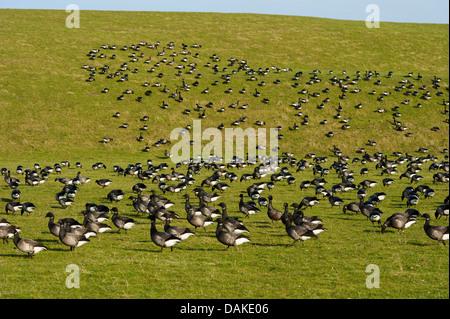 brent goose (Branta bernicla), flock resting on a dike, Netherlands, Texel - Stock Photo