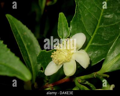 tea plant (Camellia sinensis, Thea sinensis), flower of a tea-plant - Stock Photo