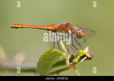 Male Ruddy Darter dragonfly (Sympetrum sanguineum) - Stock Photo