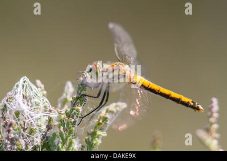 Female Black Darter dragonfly (Sympetrum danae) on heather - Stock Photo