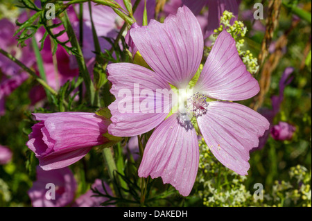 musk mallow, musk cheeseweed (Malva moschata), flower, Germany, North Rhine-Westphalia - Stock Photo