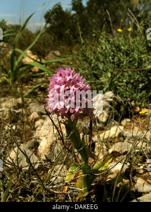 pyramidal orchid (Anacamptis pyramidalis, Orchis pyramidalis), blooming, Greece, Peloponnese, Elafonisos - Stock Photo
