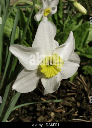 daffodil, tazetta (Narcissus 'Segovia', Narcissus Segovia), flowers of cultivar Segovia - Stock Photo