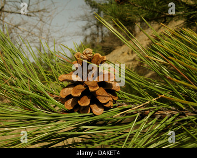 European black pine, Austrian pine, Black Pine, Corsican Pine (Pinus nigra), wild form, branch with cone, Greece, - Stock Photo