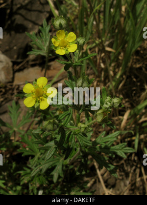hoary cinquefoil, silvery cinquefoil (Potentilla argentea), blooming, Germany, Rhineland-Palatinate - Stock Photo