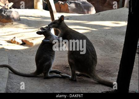 eastern gray kangaroo (Macropus giganteus), mother with young, Australia - Stock Photo