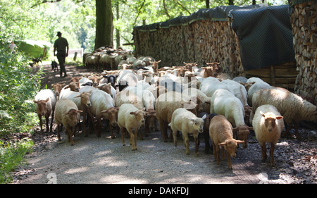 domestic sheep (Ovis ammon f. aries), flock of sheep walking on a path, Germany - Stock Photo