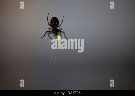 glowworms, fireflies, lightning bugs (Lampyridae), spider in its web at night with caught lightning beetle, Germany - Stock Photo