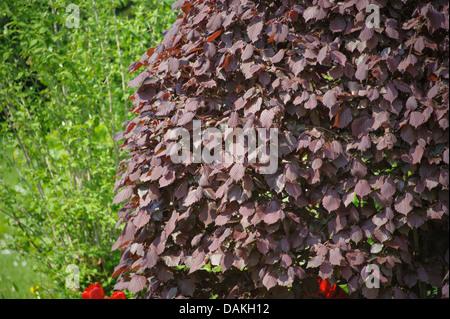 Giant hazel (Corylus maxima 'Purpurea', Corylus maxima Purpurea), cultivar Purpurea - Stock Photo