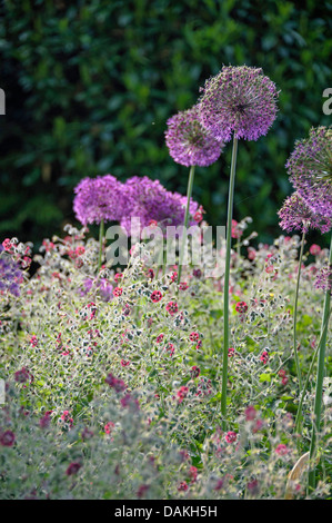 dusky cranesbill (Geranium phaeum), blooming in a flowerbed together with Allium aflatunense, Germany - Stock Photo