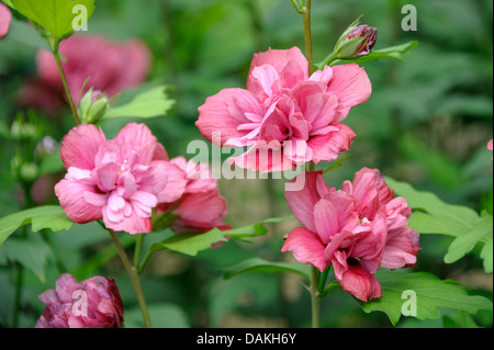 shrubby althaea, rose-of-Sharon (Hibiscus syriacus 'Freedom', Hibiscus syriacus Freedom), cultivar Freedom - Stock Photo