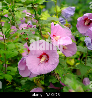 shrubby althaea, rose-of-Sharon (Hibiscus syriacus 'Minpast', Hibiscus syriacus Minpast), cultivar Minpast - Stock Photo