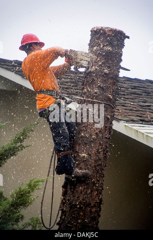 Using a chain saw, a Hispanic workman cuts sections of a a palm tree's trunk while removing the tree in sections - Stock Photo
